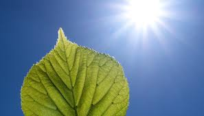 which plant cell organelle uses light energy to produce sugar two stages of photosynthesis sciencing