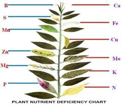 Deficiency Diseases In Plants - plant nutrient deficiency leaf illustrations and charts reference