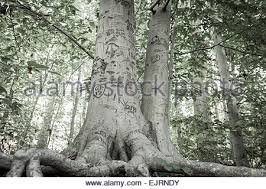 initials carved in tree initials carved tree carving stock photos initials carved tree