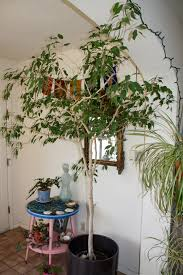 best indoor trees affordable indoor ficus tree have sjh christmas ficus tree indoor