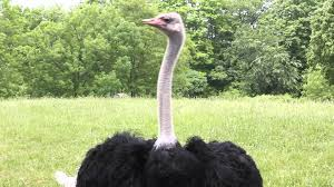 canon 550d un edited hd footage of an ostrich youtube