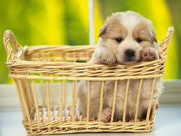 cute dog wallpapers most beautiful cute dog puppies hd wallpapers for desktop u2013 hd