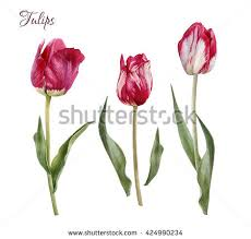 Images Of Tulip Flowers - nature tulip flower stock images royalty free images u0026 vectors