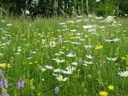 native plants uk wildflower meadow seeds mix suppliers british flora