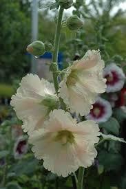 Hollyhock Flowers Hollyhocks Flowers Pinterest Hollyhock Flowers And Gardens