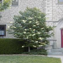 ornamental evergreen and shade trees