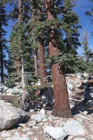 fir silvertip fir abies magnifica