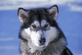 belgian shepherd x alaskan malamute alaskan malamute dog breed information pictures characteristics