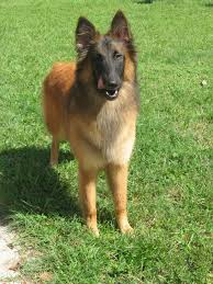 belgian sheepdog breeders in ohio 45 best groendael images on pinterest belgian shepherd shepherd