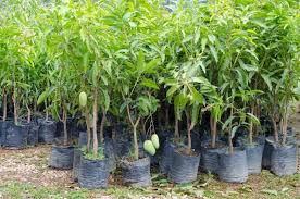 growing mango trees lovetoknow