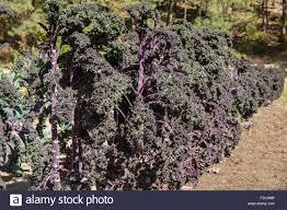row of redbor purple kale growing in leavenworth washington usa