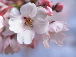 cherry flowers wallpapers wallpaper japan cherry blossoms wallpapersafari