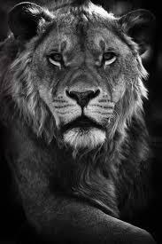 25 unique lions home ideas on pinterest omg face lion and