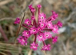 Verbena Flower Pink Sand Verbena Abronia Umbellata