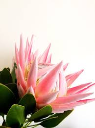 Protea Flower Best 25 King Protea Ideas On Pinterest Exotic Flowers Protea