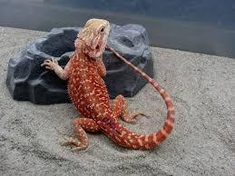 dragon u0027s den herp spotted dunner morph beardie colors