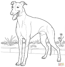 italian greyhound coloring free printable coloring pages