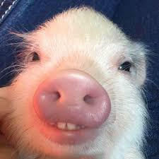 Buck Teeth Meme - this piglet with buck tooth pics