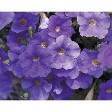 petunia flowers proven winners surfinia sky blue petunia live plant blue