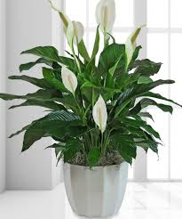 sympathy plants sympathy plant denver sympathy plant denver flower shop sympathy