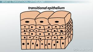 What Organelles Are Found In Epithelial Cells Functions Of Transitional Epithelium Tissue Video U0026 Lesson