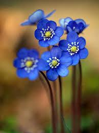Flower Image Best 25 Blue Flower Pictures Ideas On Pinterest Blue Flower