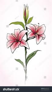 Pink Lily Flower Pink Lily Flower Realistic Sketch Not Stock Vector 69615427