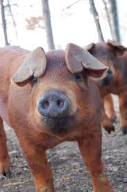 104 best pig pics images on pinterest farm animals animals and