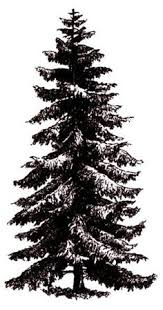 black spruce tree b w tattoos spruce tree