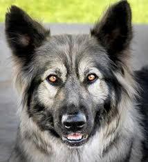 belgian shepherd x mastiff breeding back the dire wolf natural history