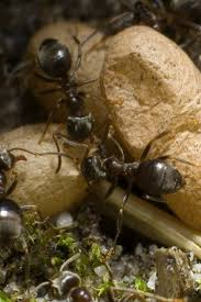 54 best ants images on pinterest ants pest control and black