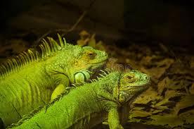 imágenes de iguanas verdes iguanas verdes imagen de archivo imagen de animal verde 41117991