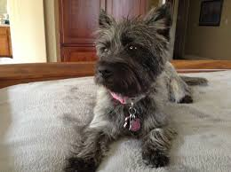 brindle cairn haircut 147 best cute cairns images on pinterest cairn terrier doggies