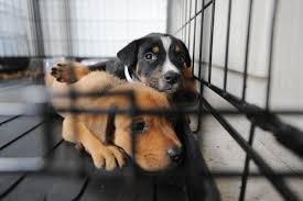 why breeding dogs is a problem even if the breeder is u0027reputable