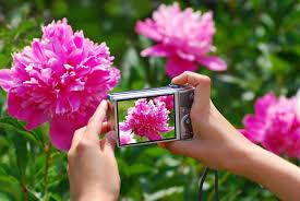 roses for sale in australia rose plants online