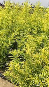 salix sachalinensis golden willow ornamental willow