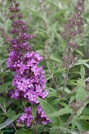 Shrub With Fragrant Purple Flowers - native sons annotated catalog b