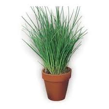 erba cipollina in vaso piante archivi pagina 17 di 50 casa giardino