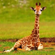 baby giraffes wallpaper images android apps on google play