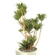 execuflora dracaena fragrans compacta