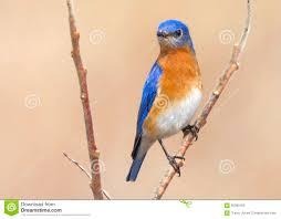 colorful blue bird the male eastern bluebird in ontario stock