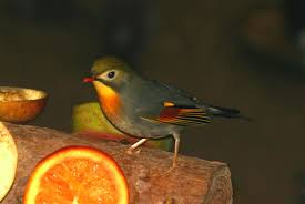 the pekin robin the finch weekly