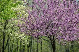 tree with purple flowers the best flowering trees in the in carolina point