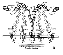 patent us20070224197 three dimensional structure of complement