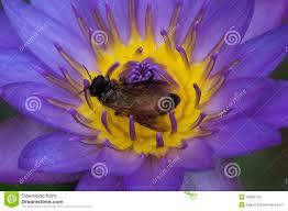 Lotus Flower Parts - purple lotus flower with bee inside stock photo image 40456145