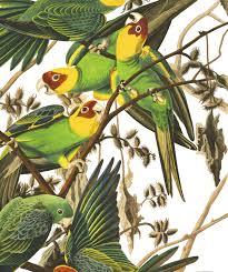 carolina parrot john james audubon u0027s birds of america