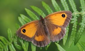 admiral thrives in butterfly count while whites decline