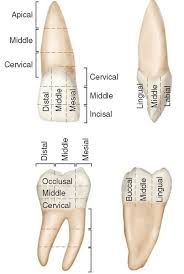 Wheeler S Dental Anatomy Physiology And Occlusion Best 25 Dental Anatomy Ideas On Pinterest Dental Assistant