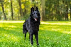 belgian sheepdog short hair belgian sheepdog pictures