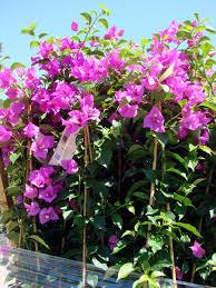 Bougainvillea Topiary - barbara karst bougainvillea garden supply company